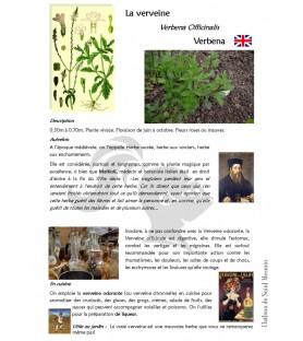 verveine plante