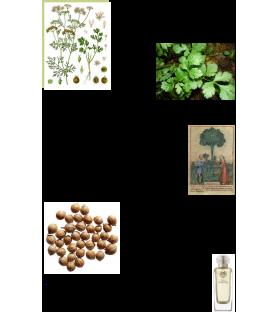 Graines Coriandre